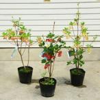 庭木・植木 ドウダンツツジ(満天星ツツジ)紅更紗、口紅更紗、岩しだれ お選びください。 樹高50cm
