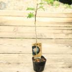 苗:白花ネムの木