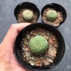 多肉植物:プセウドリトス・ミギウルティヌス大*3.5〜4cm