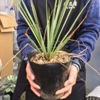 観葉植物:ユッカ ロストラータ*樹高40cm