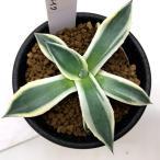 多肉植物:アガベ 吉祥天 メリコ錦*13cm