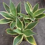 多肉植物:アガベ セルシー錦*18cm