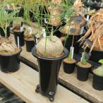 塊根植物:アデニア リンデニー*塊幅10cm 現品 一品限り