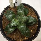多肉植物:ハオルチア ツルピカスプレンデンス *幅7.5cm 現品 一品限り
