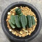 多肉植物:ハオルチア 玉扇錦*5cm 現品 一品限り