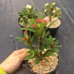 多肉植物:ユーフォルビア ハナキリン*幅9cm