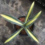 多肉植物:アガベ オーレア黄中斑*19cm 現品 一品限り