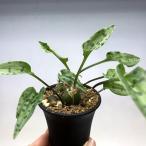 球根植物:ドリミオプシス・マクラータ 大*葉幅12cm