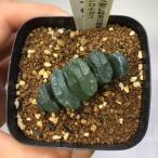 多肉植物:ハオルチア 玉扇 シロナガス*1.5cm 現品 一品限り
