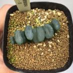 多肉植物:ハオルチア 玉扇 大縄*2.7cm 現品 一品限り
