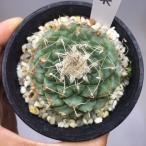 サボテン:菊水*5cm 現品 一品限り