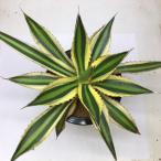 多肉植物:アガベ 五色万代錦*幅23cm 現品 一品限り