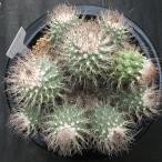 サボテン:ストロンボカクタス 菊水*20cm 現品 一品限り