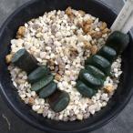 多肉植物:ハオルチア 玉扇 2個入り*4.5cmと5.5cm 現品 一品限り