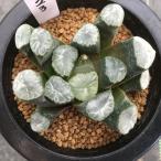 多肉植物:ハオルチア 万象 (名札なし)*8cm 現品 一品限り