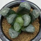 多肉植物:ハオルチア 万象 実生選抜カキコ*8cm 現品 一品限り