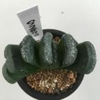 多肉植物:ハオルチア 玉扇*9cm 現品 一品限り