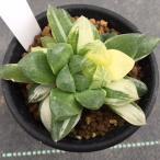 多肉植物:ハオルチア オブツーサhyb.マリン*14.5cm 現品 一品限り