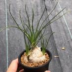 多肉植物:アルブカ フミリス S*葉幅20cm