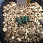 多肉植物:ハオルチア 玉扇 写楽 根挿し*2.5cm 現品 一品限り
