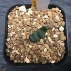 多肉植物:ハオルチア 玉扇 荒磯 葉挿し*2.5cm 現品 一品限り