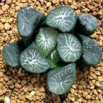多肉植物:ハオルチア 玉扇 白妙*2.5cm 現品 一品限り