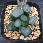 多肉植物:ハオルチア 万象 剣*5cm 現品 一品限り