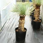 多肉植物:ユッカ・ロストラータ*幹幅15cm 現品 一品限り
