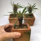 コーデックス:パキポディウム ラメリー 陶器鉢入り*葉幅10cm