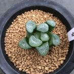 多肉植物:ハオルチア 万象*4.5cm 現品 一品限り