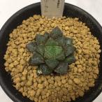 多肉植物:ハオルチア ミラーボール*4cm 現品 一品限り