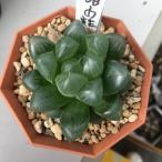 多肉植物:ハオルチア 紫オブツーサ OB-1の実生*5cm 現品 一品限り