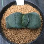 多肉植物:ガステリア 松井臥牛*6.5cm 現品 一品限り