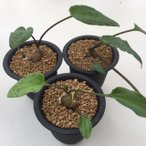球根植物:ドリミオプシス・マクラータ*葉幅12cm