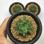 多肉植物:レース系ハオルチア*4.5cm