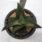 多肉植物:ハオルチア 鬼瓦*4.5cm