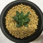多肉植物:ハオルチア ピグマエア錦*4cm 現品 一品限り