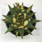 サボテン:三角牡丹 実生*12cm 現品 一品限り ※葉に傷みがあります