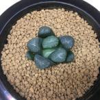多肉植物:ハオルチア 万象 HN*4cm 現品 一品限り