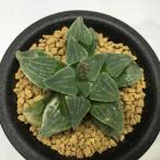 多肉植物:ハオルチア アスペルラ錦*幅6cm 現品 一品限り