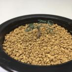 球根植物:ゲチリス sp ナマクアランド*葉幅4cm 現品 一品限り