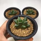 多肉植物:ハオルチア 鬼姫*4cm