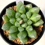 多肉植物:ハオルチア うすむらさきオブツーサ*幅5cm
