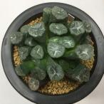 多肉植物:ハオルチア 万象 MS136*8.5cm 現品 一品限り