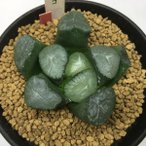 多肉植物:ハオルチア 紫万象の実生カキコ*5.5cm 現品 一品限り