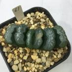 多肉植物:ハオルチア 玉扇 61*7cm 現品 一品限り