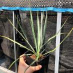 観葉植物:ユッカ ロストラータ*樹高30cm