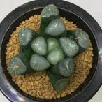多肉植物:ハオルチア 万象*7cm 現品 一品限り