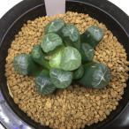 多肉植物:ハオルチア 万象*6cm 現品 一品限り