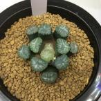多肉植物:ハオルチア 万象*5cm 現品 一品限り